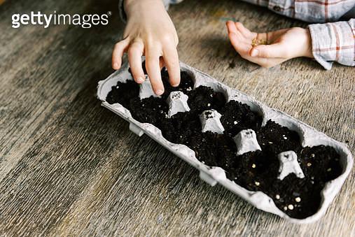 Five year old boy starting jalapeño seedlings. - gettyimageskorea