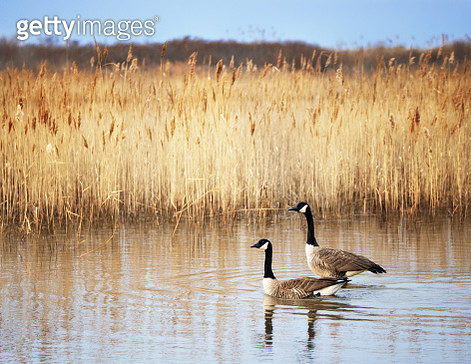 Two Canada Geese and a Beautiful Landscape - gettyimageskorea