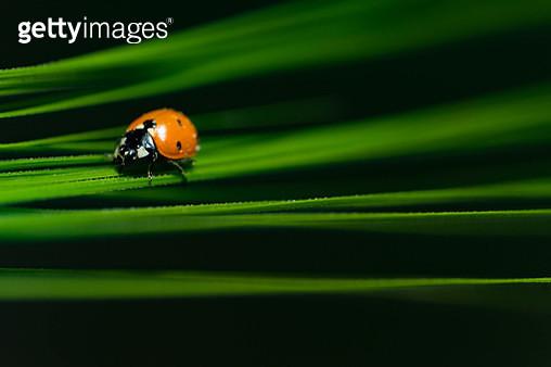 Ladybird on green grass against a dark background. - gettyimageskorea