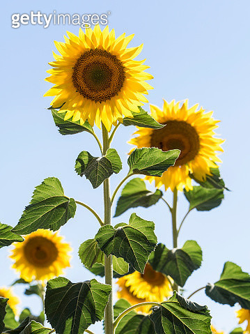 Small group of flowers of sunflowers illuminated by the Sun with a blue sky - gettyimageskorea