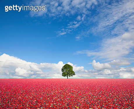 Composite image: A single tree standing in field of floating cranberries. - gettyimageskorea
