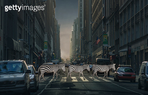 Digital composition of a group of zebras crossing a street over a pedestrian crossing in Manhattan. - gettyimageskorea