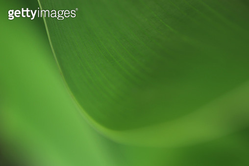Abstract image of a tropical leaf edge in green shows curve line - gettyimageskorea