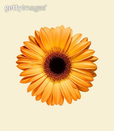 Orange Gerbera - gettyimageskorea