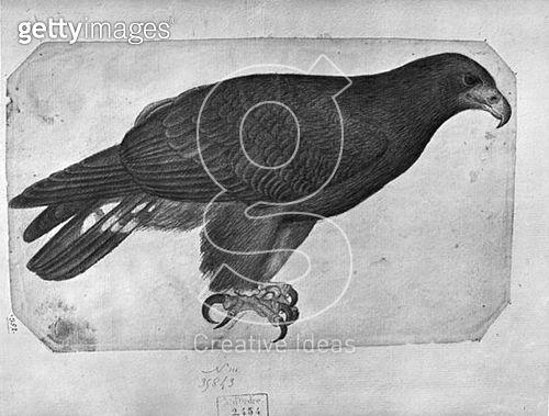 <b>Title</b> : Hawk (pencil & w/c on paper) (b/w photo)<br><b>Medium</b> : pencil and watercolour on paper<br><b>Location</b> : Louvre, Paris, France<br> - gettyimageskorea