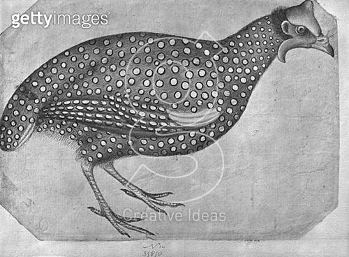 <b>Title</b> : Guinea Fowl (pen and ink and w/c on paper) (b/w photo)<br><b>Medium</b> : pen and ink and watercolour on paper<br><b>Location</b> : Louvre, Paris, France<br> - gettyimageskorea