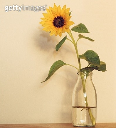 Sunflower In Vase On Table Against Wall - gettyimageskorea