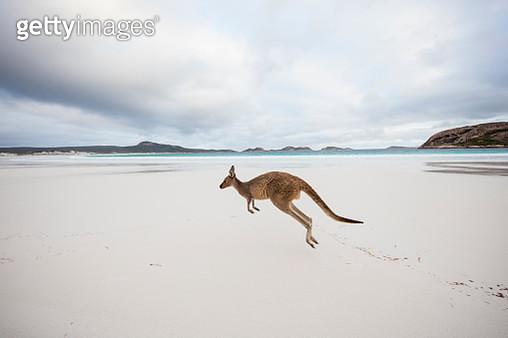 Kangaroo jumping on beach, Lucky Bay, Esperance, Western Australia, Australia - gettyimageskorea
