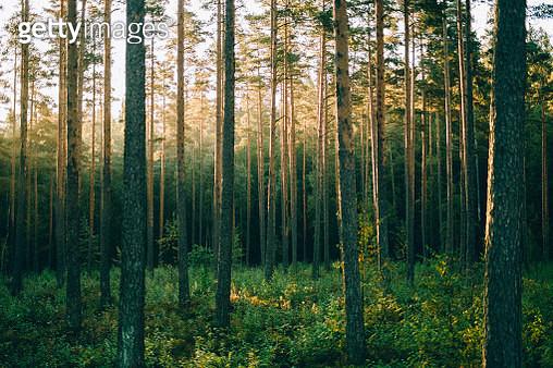 Pinewood forest in sunrise, Sognsvann, Oslo - gettyimageskorea