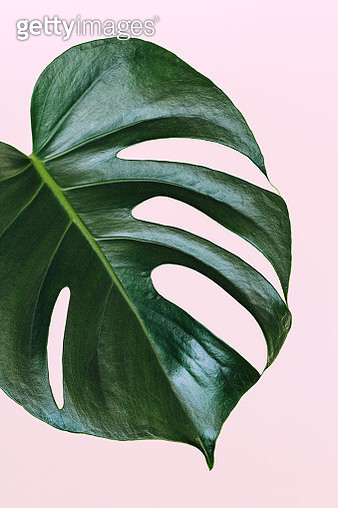 Monstera deliciosa, the Hurricane or Swiss Cheese Plant. Big palm  leaf on pink background - gettyimageskorea