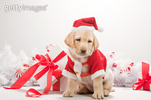 Labrador puppy in christmas costume - gettyimageskorea