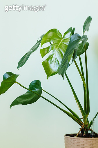 Monstera deliciosa (Swiss cheese plant) at home - gettyimageskorea