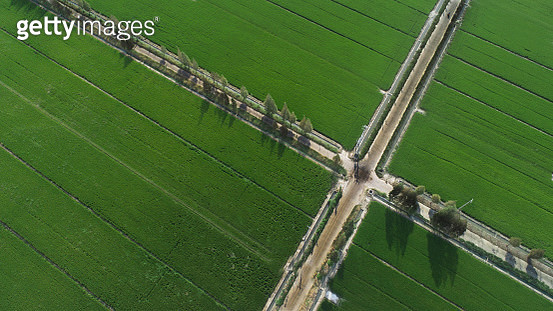 Aerial image of one tree growing in a wide rice filed,Farmland from above in Anqing,China - gettyimageskorea
