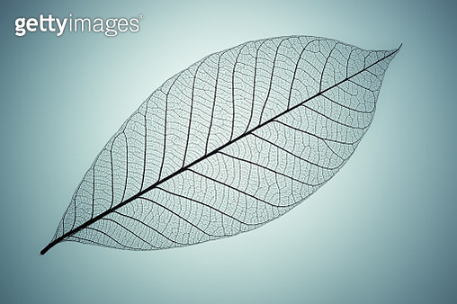 Leaf Skeleton Multilayer Close-up View on Cyan Background. - gettyimageskorea