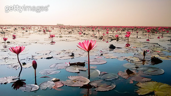 Close-Up Of Pink Lotus Water On Beach Against Sky - gettyimageskorea