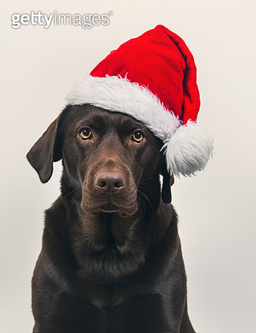 Cute dog in Santa hat - gettyimageskorea