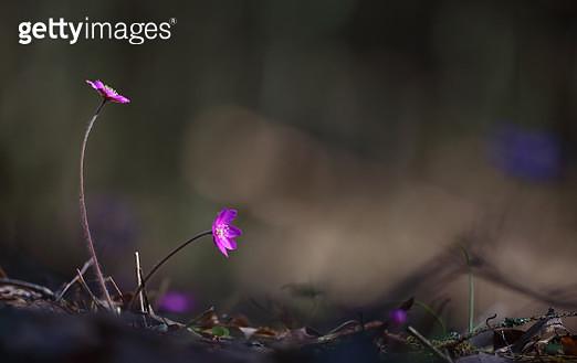 Close-Up Of Pink Crocus Flowers On Land - gettyimageskorea