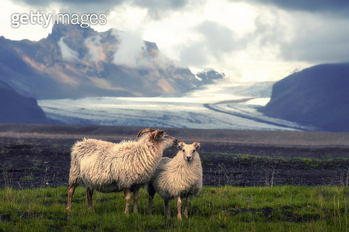 Couple goat on a green lawn. Colorful summer morning near Kvernufoss waterfall in Iceland, Europe. Artistic style post processed photo. - gettyimageskorea