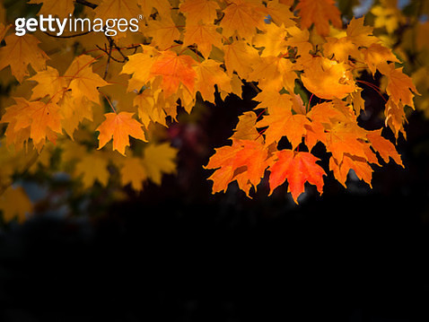 Maple Tree with Autumn Leaves of Orange, Red, and Yellow. - gettyimageskorea