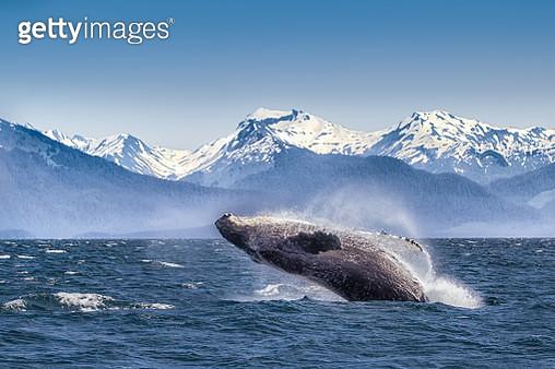 Breaching humpback whale - gettyimageskorea