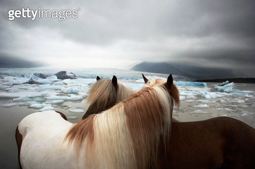 Two Icelandic Horses - gettyimageskorea