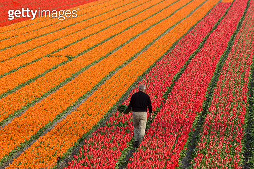 Working the tulips fields in the Netherlands - gettyimageskorea