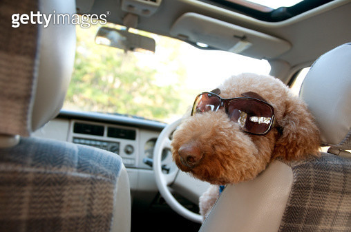 A dog is on the car - gettyimageskorea