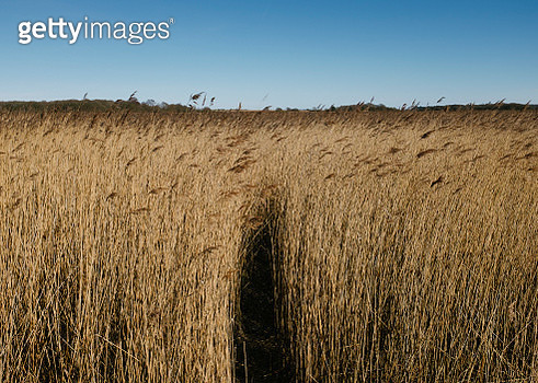 Path leading through landscape of yellow reeds and rushes - gettyimageskorea