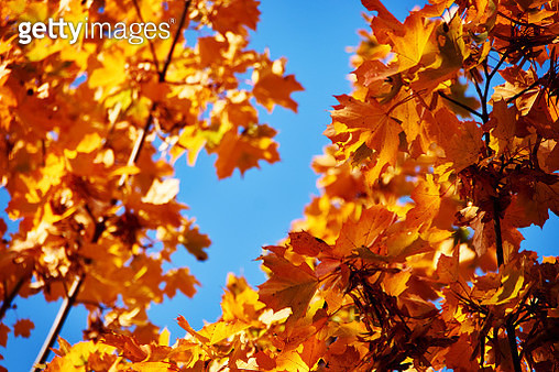 Autumn sets fire to the trees - gettyimageskorea