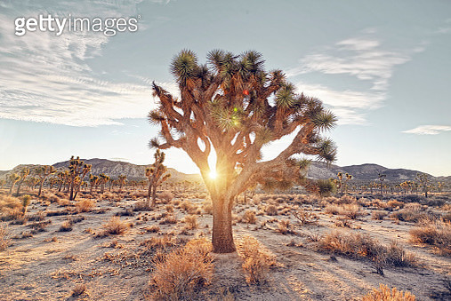 sunrise through a joshua tree - gettyimageskorea