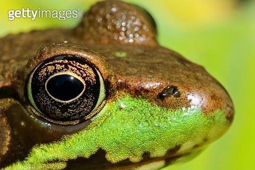 Green Frog (Lithobates clamitans) in vegetation - gettyimageskorea