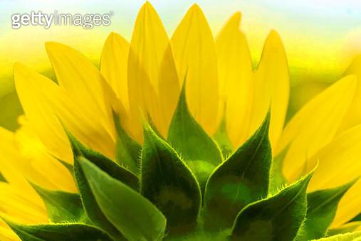 Backside of a Sunflower - gettyimageskorea