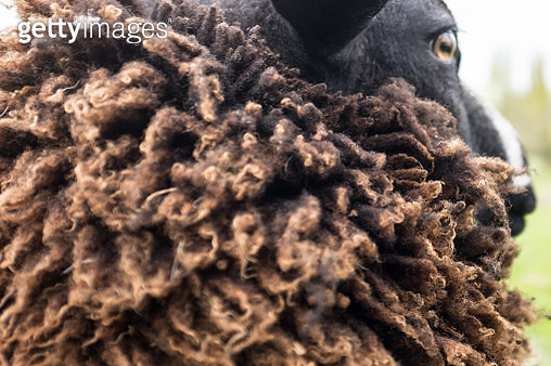 Close-up of a sheep with thick wool coat, Holland - gettyimageskorea