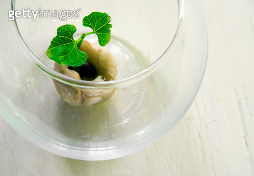 Sprouting bean inside a glass  bowl . Still life. - gettyimageskorea