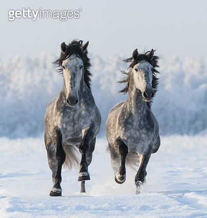 Two Andalusian stallions running across a frozen landscape. - gettyimageskorea
