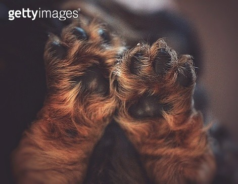 Close-Up Of Puppy Paws - gettyimageskorea