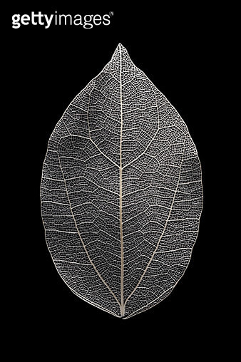 Leaf Vein Macrophotography - gettyimageskorea