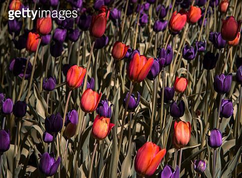 Tulips - gettyimageskorea