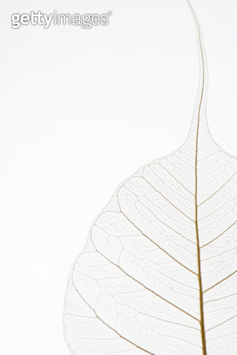 Translucent leaf, close-up, cropped - gettyimageskorea