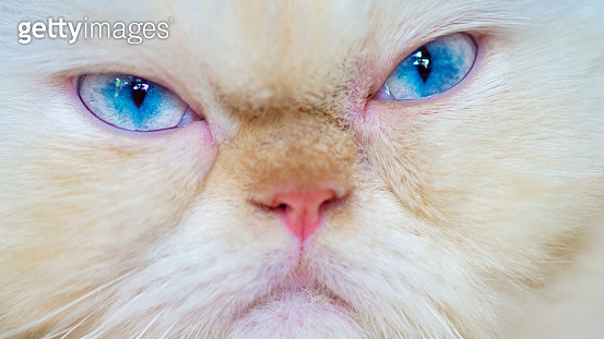 Point Cream Himalayan Cat with grumpy face and blue eyes.  Himalayan cat, or Himmie for short, also known as the Himmy and the Colorpoint Persian, are known for their full beautiful coats and round, flat faces and blue eyes. They are medium to large cats  - gettyimageskorea