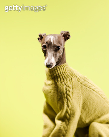 The dog is wearing a sweater.  - gettyimageskorea