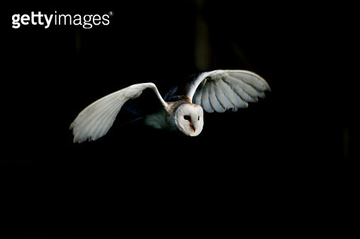Barn owl - gettyimageskorea