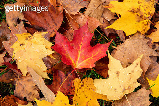 Close-up of autumn coloured maple leaves on the ground, White Mountain National Forest - gettyimageskorea
