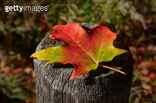 Close-up of an autumn coloured maple leaf sitting on the top of a wooden fence post, White Mountains National Forest - gettyimageskorea