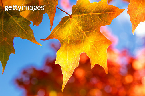 Close-up of golden leaves on a tree against a blue sky in autumn, White Mountains National Forest - gettyimageskorea