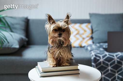 Yorkshire dog standing on a coffee table. - gettyimageskorea