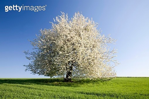 Wild cherry, also sweet cherry or gean (Prunus avium) in field, white blossom, solitary tree, Saxony, Germany - gettyimageskorea