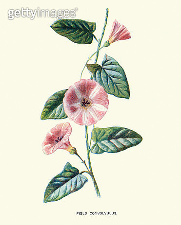 Wild flowers, Convolvulus arvensis (field bindweed) - gettyimageskorea