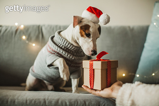 Young woman celebrating New Year at home with her dog. Dog wear costume, she giving present to her dog - gettyimageskorea
