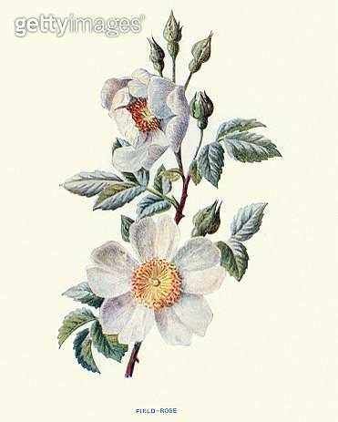 Wild flowers, Rosa arvensis field rose - gettyimageskorea